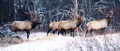 4 Bull Elk